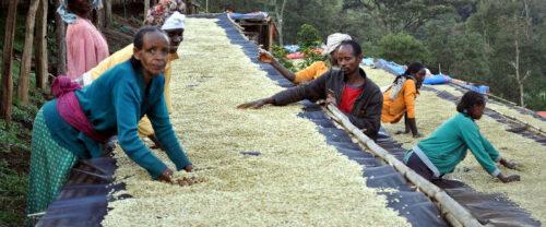 Farmer bei der Trockung des Rohkaffees